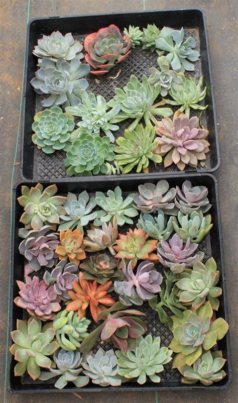 Succulent Wall Garden For Sale 17 Best Images About Succulents For Sale On