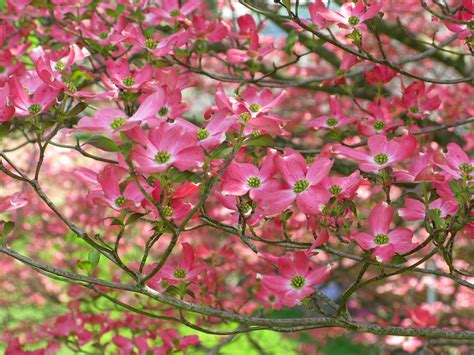 pink dogwood tree nature trees pinterest