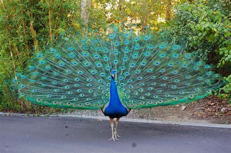 Peacock L by Penelope Overton The Birdwatcher S Guide To