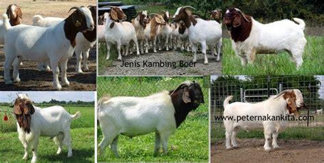 jenis kambing ternak  indonesia peternakankitacom