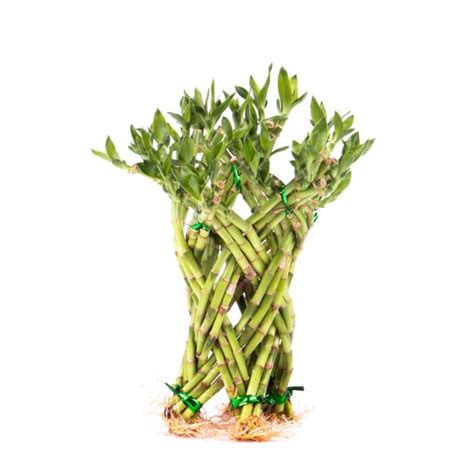 bamboo plant food for sale classifieds
