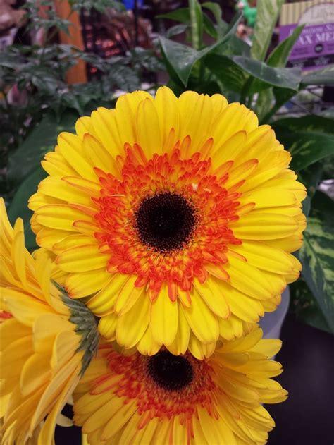gerbera colors 25 best gerbera colors ideas on