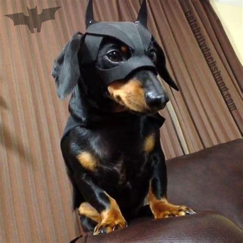 halloween dachshund costumes update  crusoe