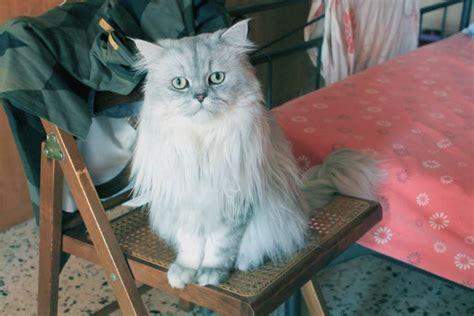 persiani chinchilla gatto persiano chinchilla romeo petpassion