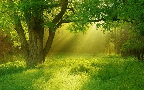 wallpaper green tree hd golden sunray through green trees hd wallpapers