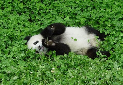 Humidifier Belli To Baby Panda happy st patricks day positive thoughts on