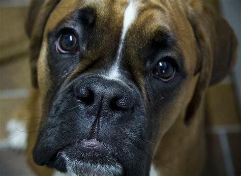 boxer puppies price boxer breed facts photos and all the info you need