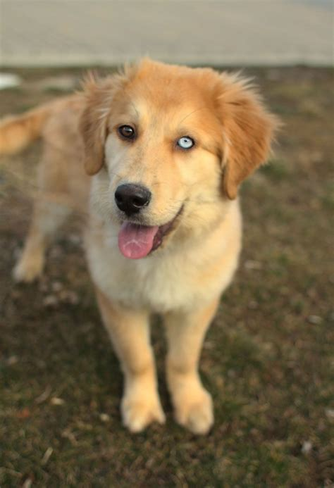 why were golden retrievers bred 25 best ideas about golden husky on husky retriever mix baby dogs