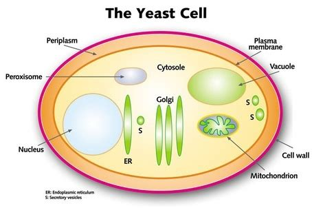 yeast rehydration definition prokaryotic vs eukaryotic cells the cell