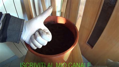 aglio in vaso come coltivare l aglio in vaso