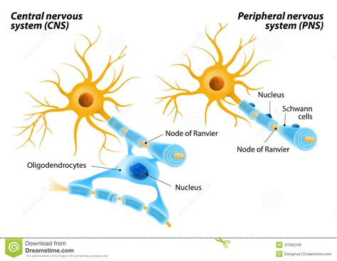 how does the myelination process differ in the central