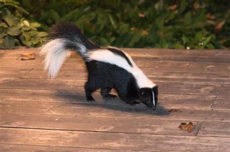 remove skunk smell  wood   clean stuffnet