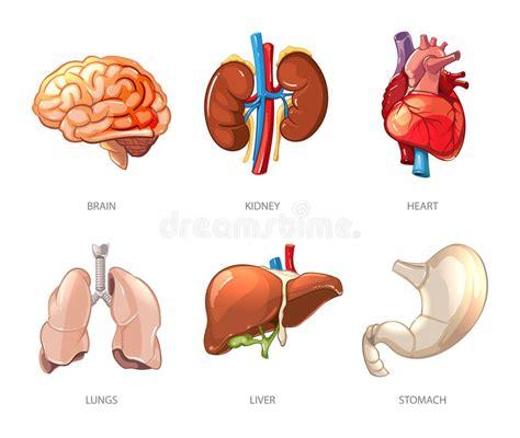 anatomia organi interni anatomia umana degli organi interni nello stile di vettore