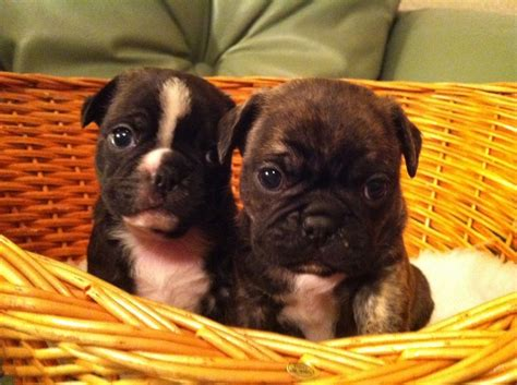 puppy breeders frug puppies for sale breeds picture