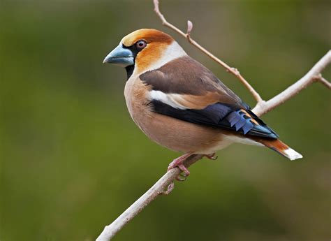 About All all about the hawfinch gardenbird