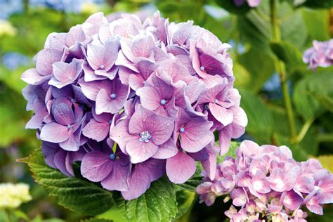 growing hydrangeas australian handyman magazine