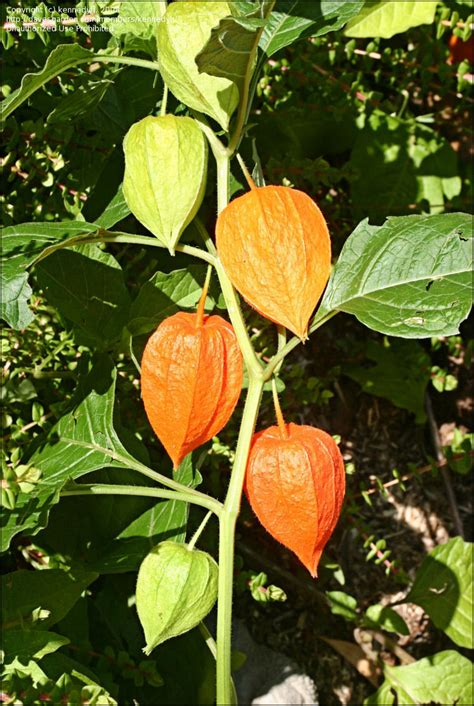 plantfiles pictures chinese lantern plant strawberry