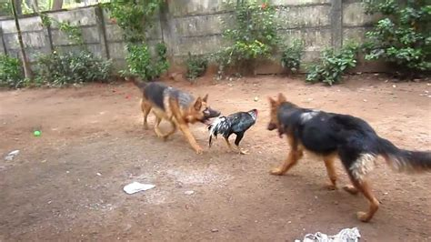 how to a german shepherd to attack german shepherd attack www pixshark images galleries with a bite