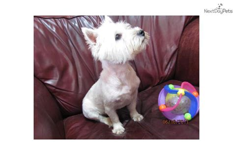 akc westie puppies for sale west highland white terrier puppies for sale beautiful akc westies breeds picture