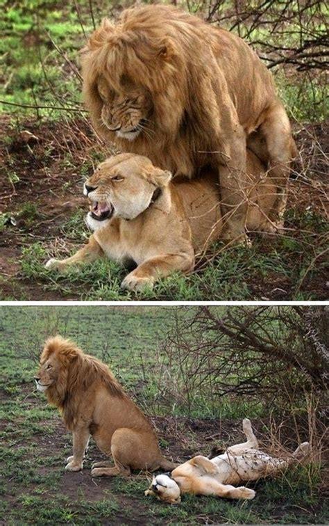 Lion Sex Meme - copular hahahhahahahahahhaa lion lol sex image