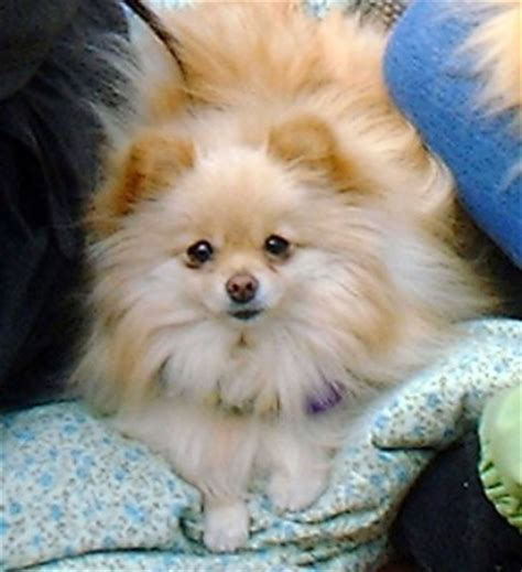 small fluffy dogs fluffy 2007 flickr photo