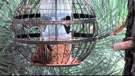 least chipmunk meets squirrel proof bird feeder youtube