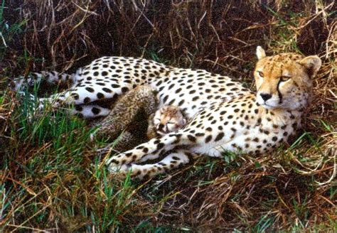 is a jaguar faster than a cheetah cheetah or leopard faster best cheetah image and photo