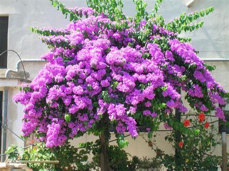piante da giardino con fiori viola cascata viola foto immagini piante fiori e funghi