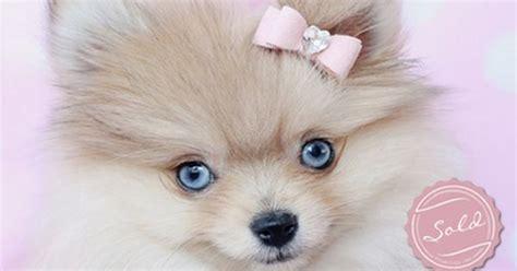 blue eyed pomeranian for sale blue eyed pomeranian puppy by teacupspuppies teacup pomeranians pomeranian