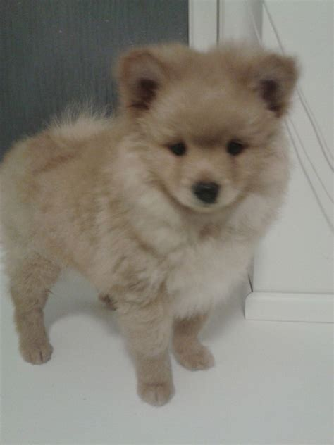 pomeranian spitz puppies for sale pomeranian spitz puppy for sale last boy ready inverness inverness shire