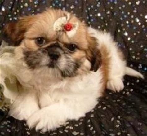pekingese and shih tzu mix puppies shinese breed information and pictures