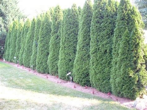 emerald arborvitae yard pinterest