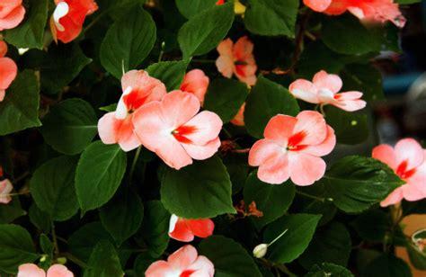 impatiens fiore significato dei fiori l impatiens balsamina pollicegreen