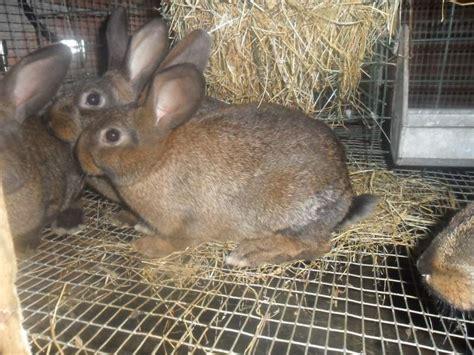 Come Si Chiama La Gabbia Dei Conigli by Conigli Da Carne A Verona Kijiji Annunci Di Ebay