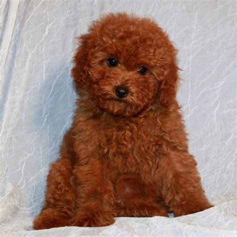 mini teddy puppies for sale mini teddy puppies for sale breeds picture