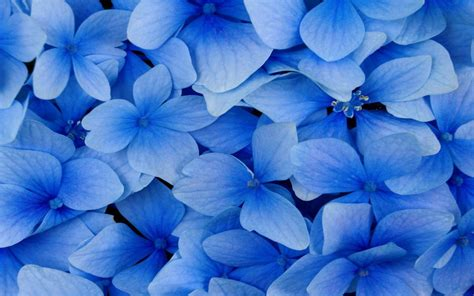 wallpaper blue floral black and white wallpapers close up blue flowers blue
