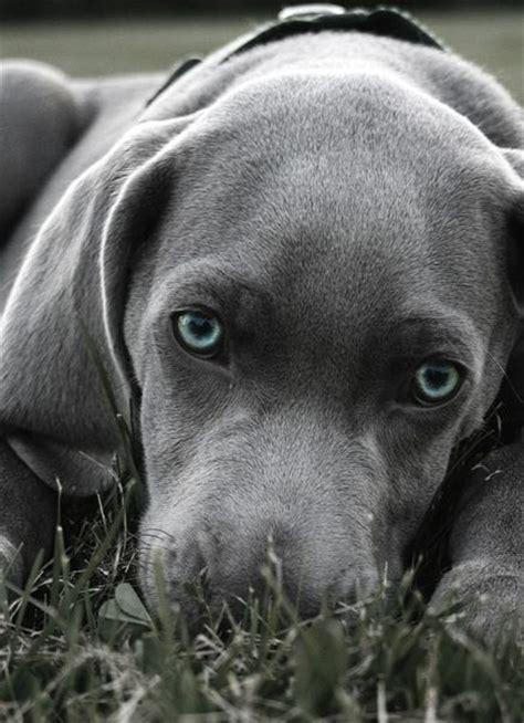 gray puppy blue eyed weimaraner puppy by grouse ridge puppy weimaraner grey
