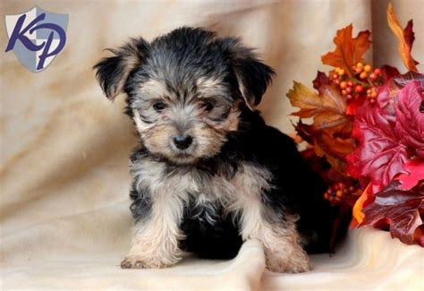 morkie puppies for sale in pa 1000 images about morkie puppies on morkie puppies for sale and fur