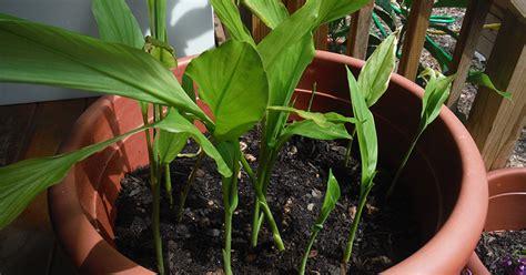 Curcuma Planter Et Cultiver Les Comment Pousser Votre Propre Curcuma C Est
