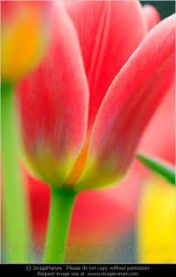 tulip colors beautiful colors of tulip flowers in garden macro
