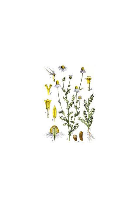 camomilla fiori piante officinali camomilla fiori matricaria