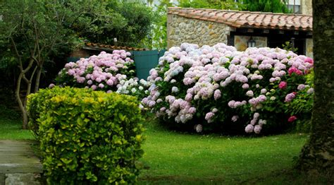 imagenes de jardines con hortensias hortensias floresyplantas net