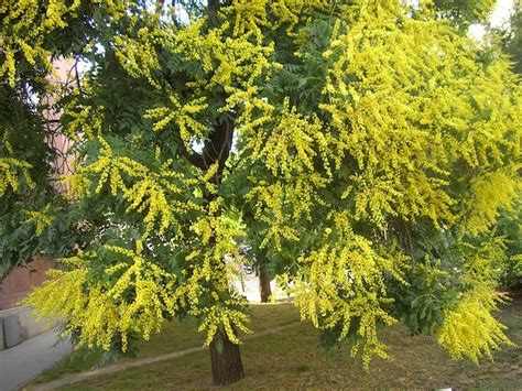 golden rain tree  pot   plants garden