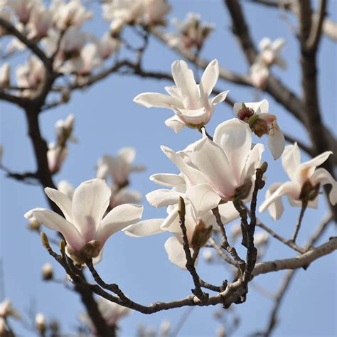 popular white magnolia tree buy cheap white magnolia tree lots from china white magnolia tree