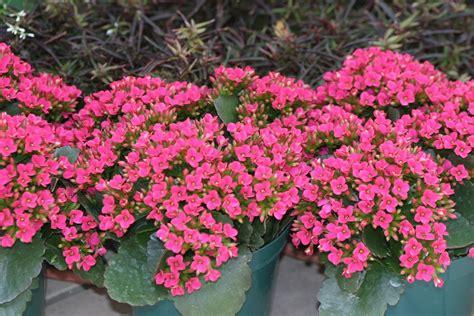 piante con fiori pianta da appartamento con fiori rosa duylinh for