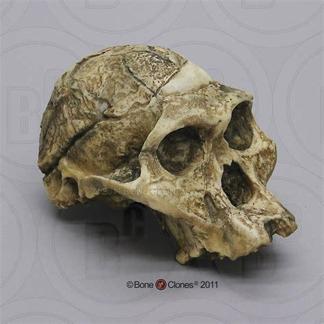 Australopithecus Africanus Skull Sts 5 Quot Mrs Ples Quot Skull