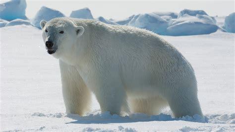 polar bear polar bear polar bear photo 2800x1575 full hd wall