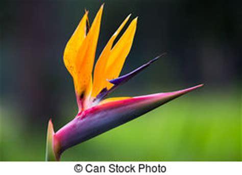 fiore strelitzia strelitzia immagini e archivi fotografici 1 050 strelitzia