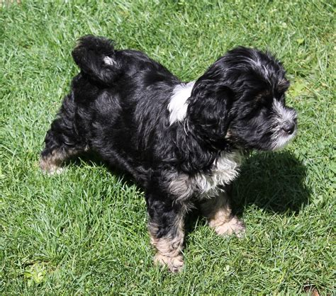 tibetan terrier puppies for sale tibetan terrier puppy for sale retford nottinghamshire pets4homes
