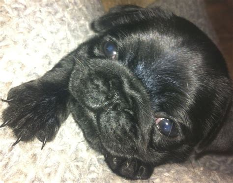 pug puppies for sale hertfordshire black pug puppies vet checked family home for sale barnet hertfordshire pets4homes